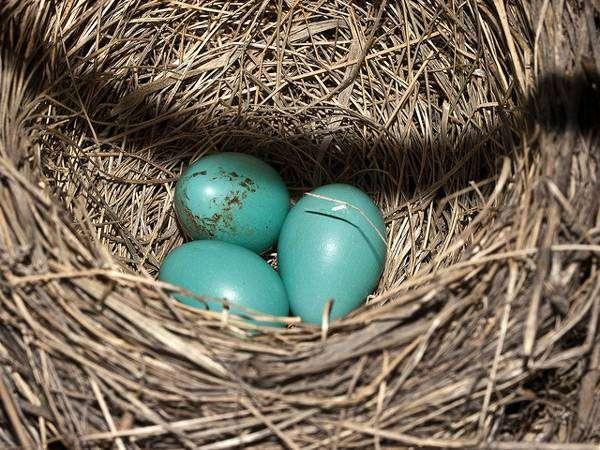 Странствующий дрозд (Turdus migratorius), гнездо с яйцами, фото новости о птицах фотография картинка