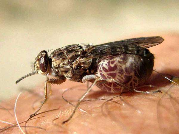 Муха цеце це-це (Glossina pallidipes), фото насекомые фотография картинка