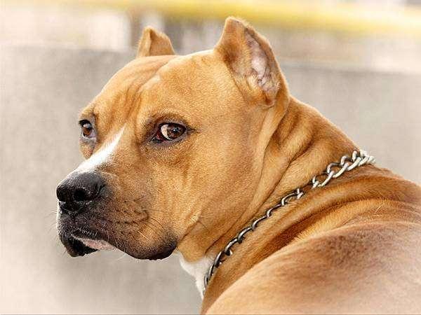 Стаффордширский терьер, фото новости о собаках фотография картинка