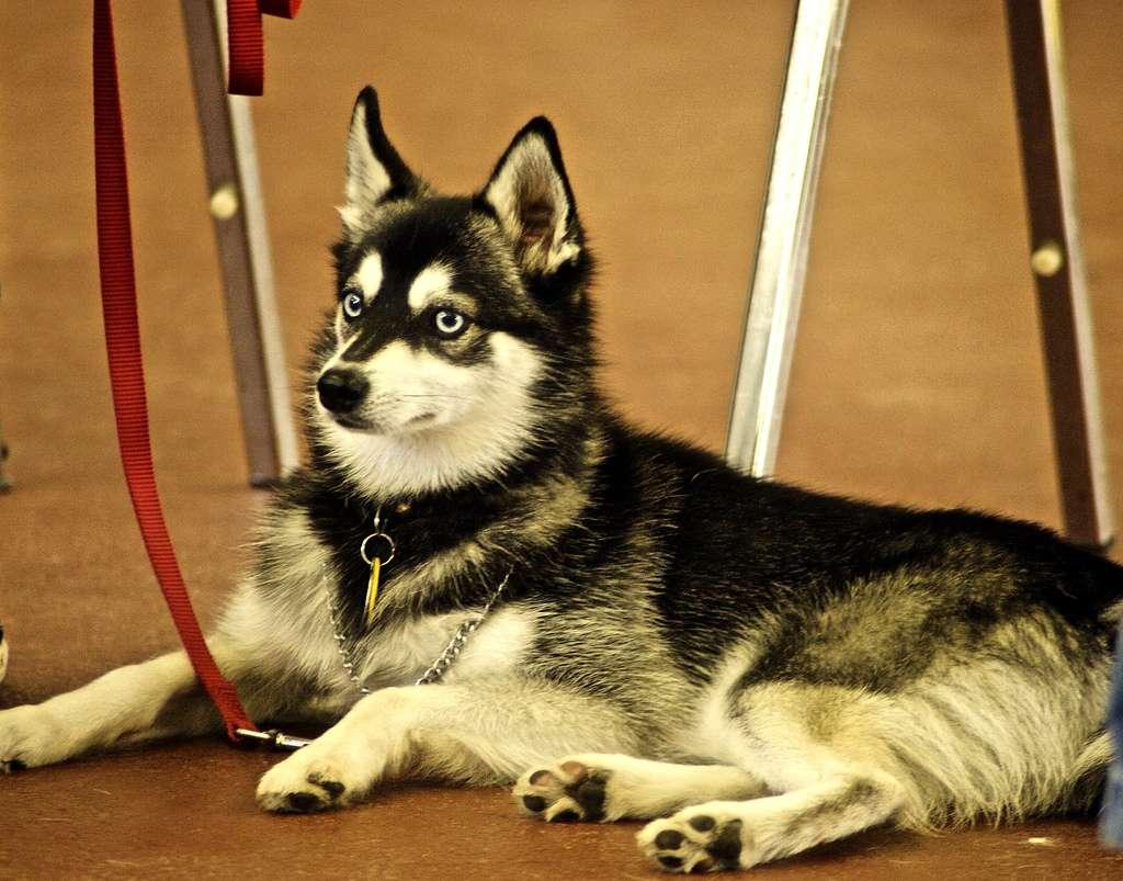 Аляскинский кли-кай, фото породы собаки фотография