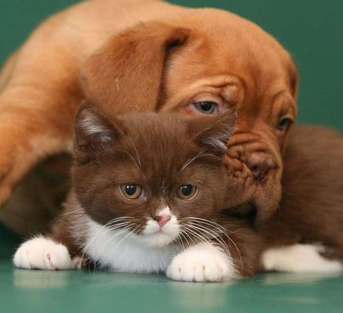 Щенок бордосского дога и котенок, фото фотография картинка обои