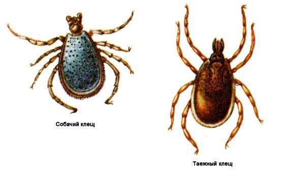 Клещи строение жизненный цикл роль клещей в переносе  Клещи строение жизненный цикл роль в переносе заболеваний домашних животных