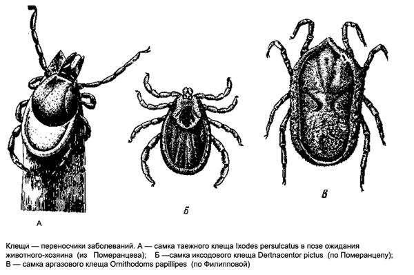 Клещи - переносчики заболеваний. Самка таежного клеща, самка иксодового клеща, самка аргозового клеща, черный рисунок картинка паукообразные