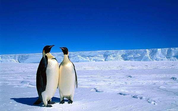 Императорские пингвины (Aptenodytes forsteri), фото новости про животных фотография птицы
