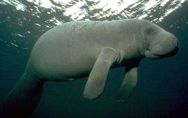 Обыкновенный дюгонь (Dugong dugon), фото сирены фотография