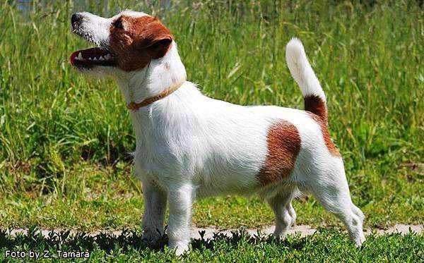 Джек-рассел-терьер, породы собак собаки терьеры фото фотография