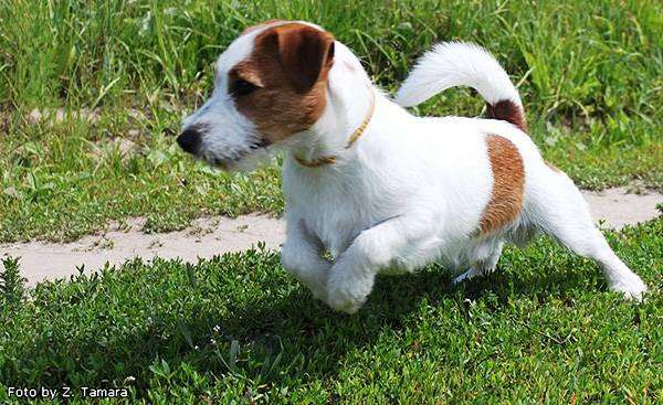 Джек-рассел-терьер, породы собак собаки фото фотография
