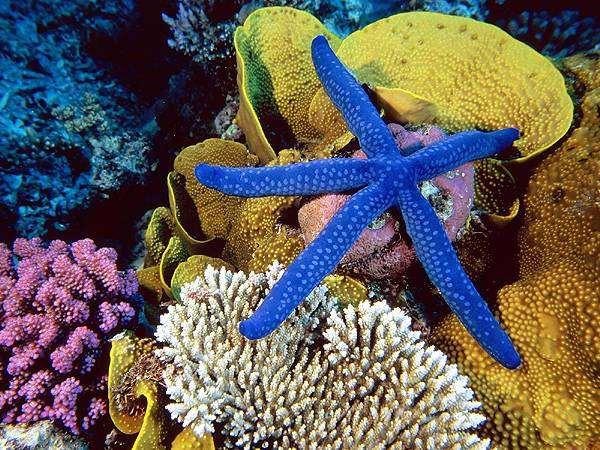 Жизнь коралловых рифов - кораллы, морские звезды, полипы, фото морской аквариум фотография