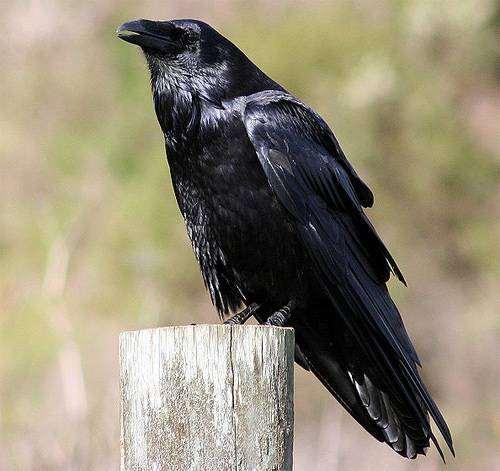 Ворон (Corvus Corax), фото новости о животных птицы фотография