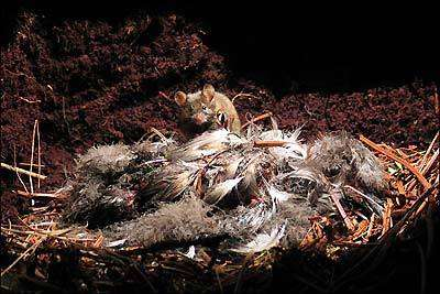 Расплодившиеся мыши угрожают поселению альбатросов