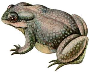 Серая жаба, жаба (Bufo bufo) жаба обыкновенная, внешний вид кожа ...