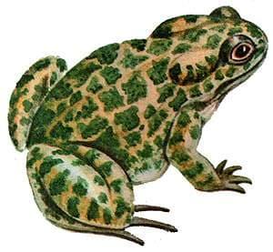 Зеленая жаба, жаба зеленая (Bufo viridis) внешний вид ...