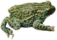 Камышовая жаба, жаба камышовая (Bufo calamita), биология описание ...