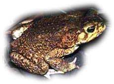 Жаба-ага (Bufo marinus) ага содержание уход неволе жабы, кормление ...
