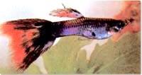 гуппи, рыбка гуппи (Poecilia reticulata), фото, фотография