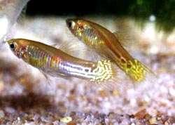 гуппи (Poecilia reticulata), фото, фотография