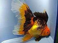 золотая рыбка, оранда, фото, фотография