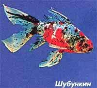 шубункин, золотая рыбка, фото, фотография