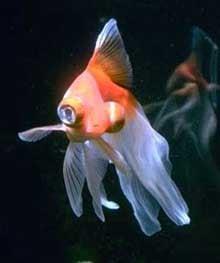 телескоп, демекин, золотая рыбка, фото, фотография