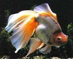 вуалехвост, риукин, золотая рыбка, фото, фотография