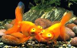 звездочет, небесное око, золотая рыбка, фото, фотография