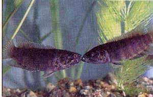 ктенопома Ансорга, красноштриховая ктенопома, ктенопома Анзорга (Ctenopoma ansorgii)