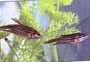 гурами ворчащий, рыбка говорящая (Trichopsis vittatus), фото, фотография