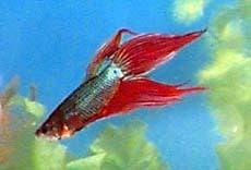 Петушок, бойцовая рыбка (Betta splendens), фото, фотография