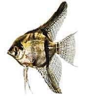 Скалярия, рыба-лист (Pterophyllum scalare), раскраска ...