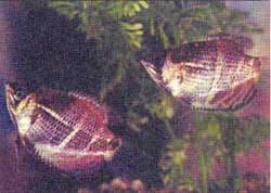 гурами шоколадный, трихогастр шоколадный, гурами малайский (Sphaerichthys osphromenoides), фото, фотография