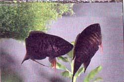 макропод черный, черный макропод (Macropodus concolor), фото, фотография