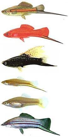 ��������� �������, ��������� �������, ��������� �������, ��������� ������� (Xiphophorus helleri), ����, ���������� c http://akvarista.hu