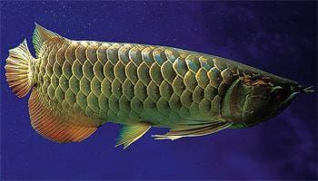 арована аравана рыба, фото, фотография