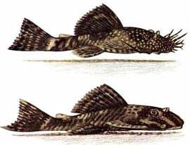 анцитрус, простой анцистр, анцитpус обыкновенный (Ancistrus dolichopterus), фото, фотография, вверху - самец, внизу - самка