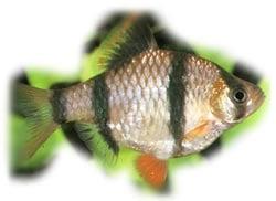 ������������ ������, ������ ������������ (Barbus tetrazona, Puntius tetrazona), ����, ����������