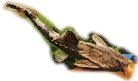 буноцефал Кнера, сом-коряга, сомик банджо (Bunocephalus knerii, Bunocephalus kneri), фото, фотография