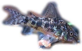 крапчатый сомик, обыкновенный сомик, коридорас, сомик крапчатый (Corydoras paleatus), фото, фотография