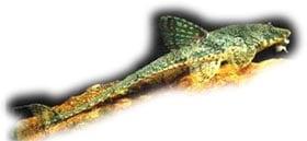 обыкновенная лорикария, нитчатая лорикария, лорикария филаментоза (Dasyloricaria filamentosa), фото, фотография