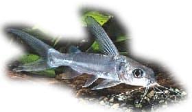 сом алюминиевый, алюминиевый сом (Gephyroglanis longipinnis), фото, фотография