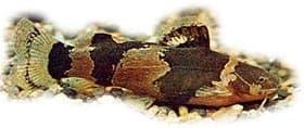 микрогланис зебровый, зебровый микрогланис (Microglanis poecilus), фото, фотография