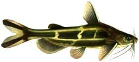 косатка скрипун (Pseudobagrus fulvidraco), фото, фотография