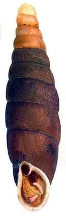 Clausilia parvula фото фотография, улитки моллюски раковина