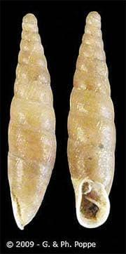 Cochlodina cerata фото фотография, улитки моллюски раковина