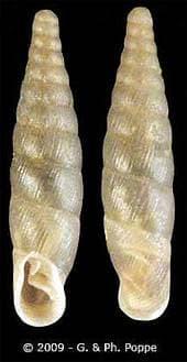 Веретеновидка блестящая (Cochlodina orthostoma), фото фотография улитки, моллюски, беспозвоночные