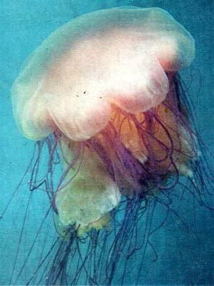 Цианея (Cyanea capillata), фото фотография, кишечнополостные медузы