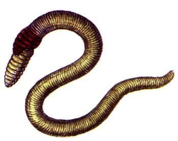 Дравида Гилярова (Drawida ghilarovi), рисунок картинка, дождевые черви малощетинковые беспозвоночные
