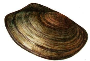 Беззубка обыкновенная, беззубка рыбья (Anodonta cygnea), рисунок картинка, двустворчатые моллюски беспозвоночные