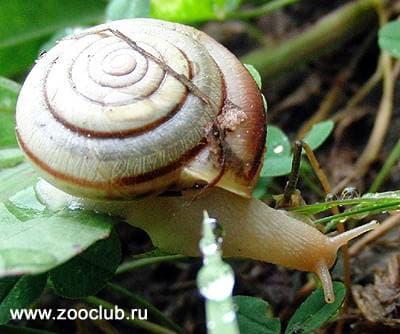 Улитка древесная (Arianta arbustorum) древесная улитка моллюски, фото фотография, моллюски, улитки, беспозвоночные
