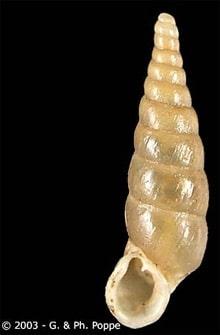 Armenica disjuncta, фото фотография, моллюски, улитки, беспозвоночные