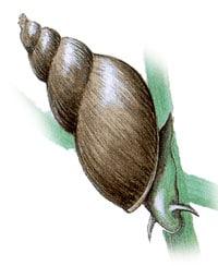 прудовик обыкновенный, прудовик болотный, обыкновенный прудовик, большой прудовик, озерник, улитки (Limnaea stagnalis), картинка с сайта http://edu.greensail.ru/encyclopedia/, фото, фотография